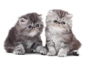persian-kittens